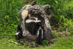Mother Striped Skunk Mephitis mephitis Drags Kit Into Log Stock Images