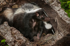 Mother Striped Skunk (Mephitis mephitis) and Kit in Log Stock Photography