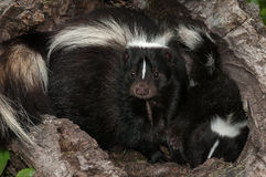 Mother Striped Skunk (Mephitis mephitis) Sits on Kit in Log Royalty Free Stock Photo
