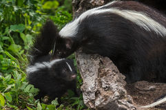 Mother Striped Skunk (Mephitis mephitis) Sniffs Kit Stock Image