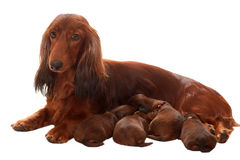 Mother with suckle puppies Royalty Free Stock Image