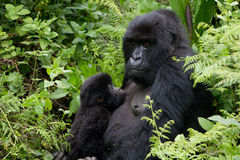 Mother and suckling baby Gorillas. Mother Gorilla with her breast-feeding baby in the Virunga National Park in Rwanda Stock Photo