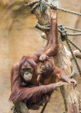 Mother sumatran orangutan Royalty Free Stock Photos