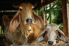 Mother and sun. Cow family in my uncle farm thailand Royalty Free Stock Image