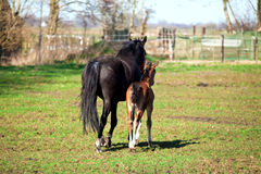 Mother and sun horses Royalty Free Stock Photos