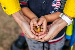 Little kid is holding acorns at his small hands with help of mother stock photography