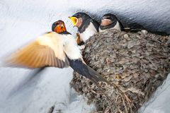 Mother swallow feeding her babies. The Mother swallow feeding her babies royalty free stock photography