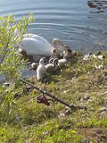 Mother Swam. Swan babies interrupted fishing Royalty Free Stock Image