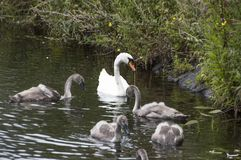 Mother Swan And Babies royalty free stock images
