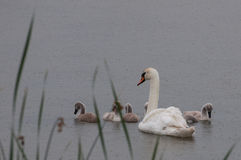 Mother swan and babies in rain Royalty Free Stock Images