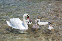 Mother swan with babies Stock Image