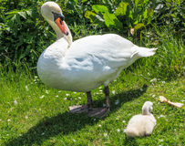 Mother Swan with baby Royalty Free Stock Photos