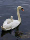 Mother-swan is carrying her chick on the back Royalty Free Stock Image