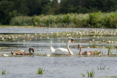 Mother swan with chicks Royalty Free Stock Photography