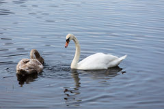 Mother swan and child looking for food Stock Photography