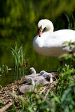 Mother Swan & Cygnets. Six, two week old swan cygnets lazing in the spring sun Royalty Free Stock Photo