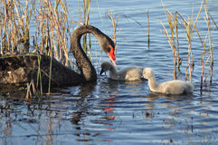 Mother swan and cygnets Stock Image