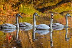 Mother swan and cygnets Royalty Free Stock Images