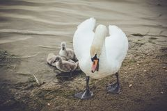 Mother swan defending her babies. Mother swan with her babies, defending and caring royalty free stock photo