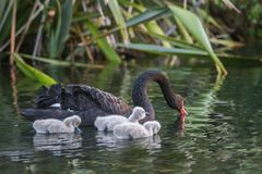 Mother swan with her baby Stock Image