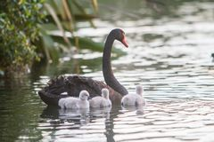 Mother swan with her baby Royalty Free Stock Photos