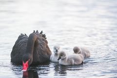 Mother swan with her chicks. Mother swan with her baby chicks Stock Image