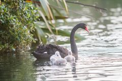 Mother swan with her chicks. Mother swan with her baby chicks Stock Images
