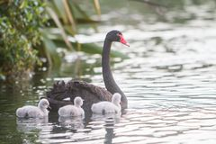 Mother swan with her chicks. Mother swan with her baby chicks Royalty Free Stock Photography