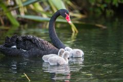 Mother swan with her chicks. Mother swan with her baby chicks Royalty Free Stock Images