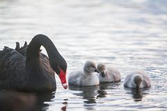 Mother swan with her chicks. Mother swan with her baby chicks Stock Photography