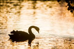 Mother swan with her chicks. Silhouette of swan bird on sunset water background Royalty Free Stock Image