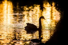 Mother swan with her chicks. Silhouette of swan bird on sunset water background Royalty Free Stock Photo
