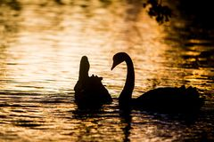 Mother swan with her chicks. Silhouette of swan bird on sunset water background Royalty Free Stock Photography