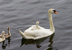 The mother-swan and her chicks are swimming in the lake Stock Photography