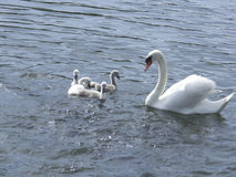 Mother swan Stock Photography