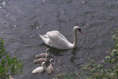 Mother swan Royalty Free Stock Photo