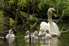Mother Swan and her cygnets. A mother mute swan out with her six little cygnets Stock Photography