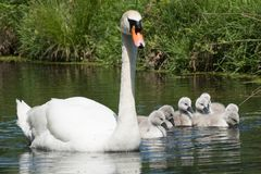 Mother swan and her cygnets stock images