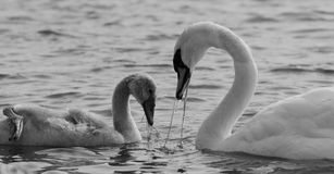 The mother-swan and her son are eating together Stock Image