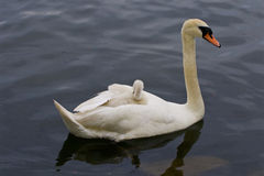Mother-swan with her young chick on the back Stock Photos