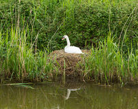 Mother swan on nest by reeds on a river bank. Only days from giving birth to cygnets Royalty Free Stock Photos