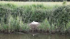 Mother swan on nest by reeds on a river bank Royalty Free Stock Images