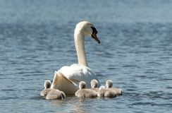 Mother swan swimming with her cygnets royalty free stock photography