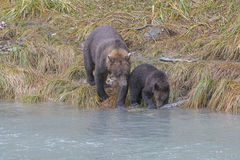 Mother Teaching her Cub to Fish Royalty Free Stock Images