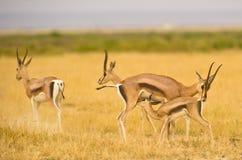 A mother Thomson´s Gazelle nursing her kid  her Royalty Free Stock Photos