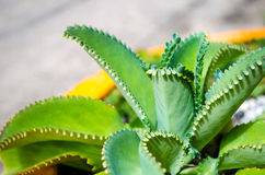 Mother of Thousands Plant Stock Photography