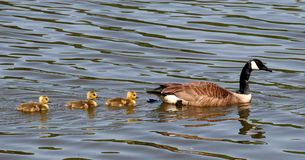 Mother and Three Babies royalty free stock photo