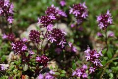 Mother of thyme flowers Thymus praecox Stock Photography