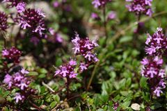 Mother of thyme flowers Thymus praecox. Royalty Free Stock Images