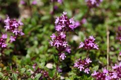 Mother of thyme flowers Thymus praecox. Royalty Free Stock Photography